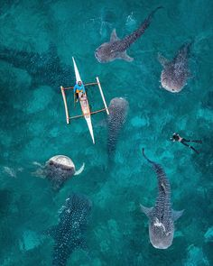 Whale Sharks. Oslob, Philippines. Photo by Dimitar Karanikolov. (@karanikolov)