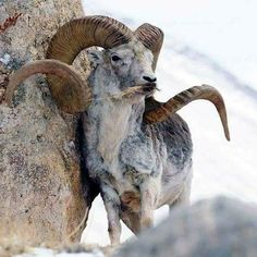 Marco Polo sheep Majestic Animals, Rare Animals, Animals Beautiful, Animals And Pets, Beautiful Creatures, Wild Animals, Animals With Horns, Big Horn Sheep, Animal Games