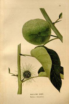 - Annales de flore et de pomone : - Biodiversity Heritage Library Botanical Drawings, Botanical Art, Botanical Illustration, Multiplication Végétative, Old Book Pages, Art Clipart, Parcs, Picture Collection, Plants