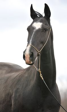 The Akhal Teke was originally used by nomadic tribes as a war horse because of…