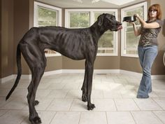 The tallest known dog, as of 2010, was a Great Dane who measured 43 inches tall.