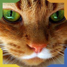 ¿Sabías que? Los gatos tienen un tercer párpado, rara vez visible. Si puedes verlo, es una indicación de mala salud.