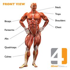 Human Body Muscles Anatomy | Human Body Muscle Diagram