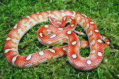 Kuvahaun tulos haulle miami motley corn snake