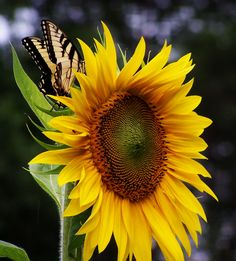 Butterfly on sunflower Photo by: Patricia Perdue