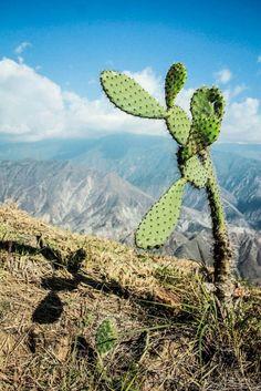 Chicamocha, Colombia Cactus Plants, Travel, Amor, Colombia, Sweetie Belle, Scenery, Viajes, Cacti, Cactus