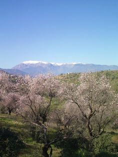 Almond trees  at Guaro with a view of the Sierra de las Nieves which means  The Snowy Mountains