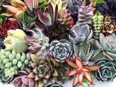 Wir mögen Sukkulenten, weil sie wachsen ganz leicht. Aber wir mögen sie besonders für ihre Seite besonders dekorativ. Wir stellen diese Pflanzen in die Regale, auf den Schreibtisch oder auf … Mehr