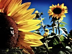 Sunflowers and one bee.