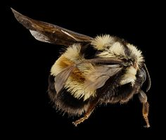 The rusty patched bumblebee population has declined 87 percent over the past two decades.