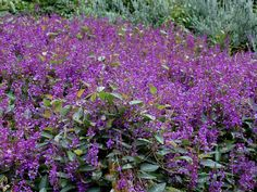 Hardenbergia violacea 'Sea of Purple' - full sun, ground cover with short upright stems spreading up to 3m, flowers late winter/early spring,