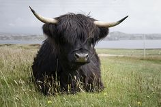 on Iona - don't see many black-haired Highland cattle!
