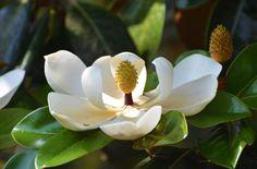 Magnolia 6-7-12 by Tailgun2009.deviantart.com on @DeviantArt