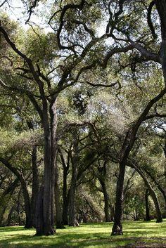 Oaks at Descanso Gardens
