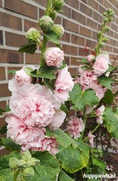 Cottage Garden Plants, Blue Garden, All Flowers, Beautiful Flowers, Japenese Garden, Hollyhock, Garden Borders, My Secret Garden, Fauna