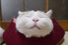 Shironeko Is The Happiest And Sleepiest Cat Ever