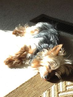 Zeke, our Yorkshire Terrier, loves himself a nice sunny patch - notice the tongue sticking out!