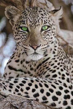 leopardo mirando a través de intensos ojos esmeralda de cristal!