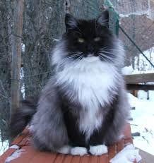 gros Mésange poilu chatte