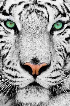 Green eyes, white tiger, not commen.