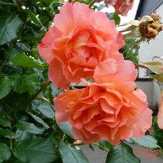 Twin - Roses ...