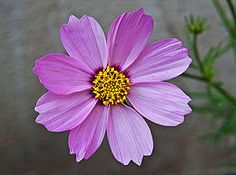 Pink Cosmos Flowers Wallpapers) – Free Backgrounds and Wallpapers Luxury Flowers, Exotic Flowers, Large Flowers, Beautiful Flowers Pictures, Flower Pictures, Ginger Flower, Narcissus Flower, Cosmos Flowers, Wild Flowers