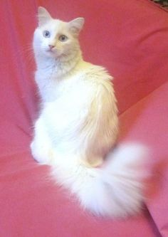Aww!! It looks just like Crystal but she had green eyes! Pictures of Turkish Angora Cat Breed
