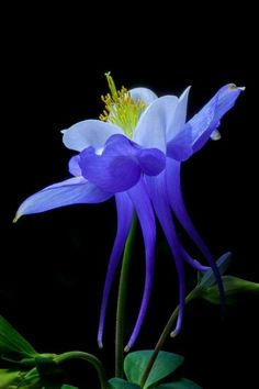 purple blue columbine