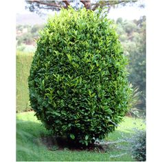 Sweet Bay - Laurus Nobilis Live Plant Fits 5 Gallon Pot