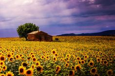 Sunflower field by Reto Imhof on 500px