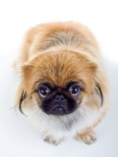 Find Out Important Facts About Your Pekingese ♥ ♥ ♥
