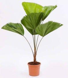 Grote planten | Licuala palm