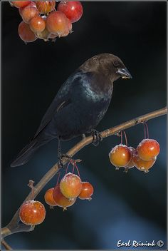 Brown-headed Cowbird | Flickr - Photo Sharing!