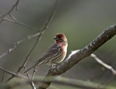 Hendry Vineyard Life 20: The purple finch might be the state bird of New Hampshire but it is right at home here! #hendryvineyardlife