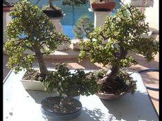Hacer un bonsái en pocos meses (portulacaria) - YouTube