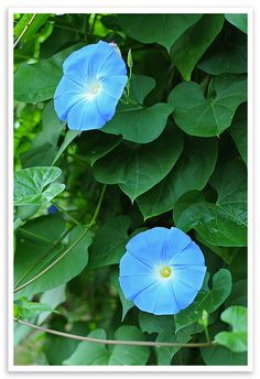 Beautiful Morning Glory...I love the Morning Glory that somehow, in spite of anything I do, or mostly don't do, somehow manages to grace my yard every year with its pretty blue flowers. This site provides tips for growing Morning Glory.