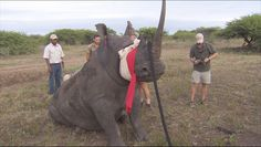 CBS News gets a rare look at the difficult work being done by a group literally lifting the giant animals out of the reach of brutal poachers