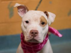 "TO BE DESTROYED - 12/06/14 Brooklyn Center JANET ID # is A1021099. I am a female white and tan pit bull mix. The shelter thinks I am about 1 YEAR 7 MONTHS old. I came in the shelter as a STRAY ***TREMBLED THROUGH SAFER****** MULTIPLE TIMES ON LIST ***Janet is a scared little rabbit who entered the shelter as a ""stray"". EXCELLENT BEHAVIOR SCORES -even though she trembled throughout most of it. ~Shy but social ~ Dog friendly~ SHE JUST NEEDS A PATIENT, LOVING HOMETHAT WILL HELP HER TRUST…"