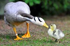 Mom goose with her young gosling.
