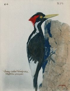 woodpecker pileated vs. ivory-billed | Grow | Birds, Wild ...