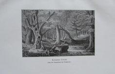 KORSISCHER URWALD 1911 alter Druck antique Print Lithographie
