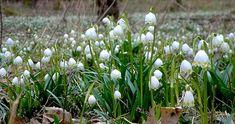 Spring is a bit delayed this year. We need more  soon! . . #springisfinallyhere #springmood #springfeeling #springishere #czech #czechrepublic #igerscz #morava #czech_world #czechphotography #czechnature #snowflake #bledule #springflowers #forestflowers #hikingadventures #hikingtrails #hikingculture #hikinglife #hikingtrip #outdoorslife #naturelovers #naturepics #forestlife #wanderlusters #travellove #travelholic #traveleurope #gaytravel  #gaylife