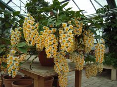 How to Grow and Care for Dendrobium Orchids - See more at: http://worldoffloweringplants.com/grow-care-dendrobium-orchids