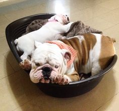 Family Bulldog father and son capolovers