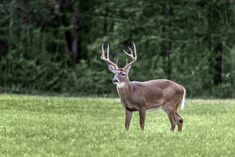 A buck standing in a field at Cades Cove