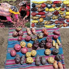 Learn about potatoes! The millennia-old food staple of the Andes, and an integral part of Bolivian history! Bolivian Food, Bolivian Recipes, Ethnic Recipes, Hispanic Countries, Spanish Speaking Countries, How To Speak Spanish, Peru, Mother Nature, Gardens