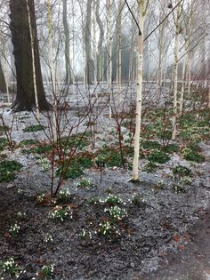 Birch trees under planted with snowdrops - stunning Winter Garden, Birch Trees, Plants, Outdoor, Outdoors, Sun Room, Planters, Outdoor Living, Garden