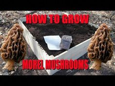 Most people who go in for mushroom growing just go out and buy both the spores (or spawn) and the growth medium. They do this because this is the easiest way to grow mushrooms. But if you are thinking of growing mushrooms commercially Growing Morel Mushrooms, Edible Wild Mushrooms, Garden Mushrooms, Stuffed Mushrooms, Mushroom Spores, Mushroom Cultivation, Fungi, Moral Mushrooms, Mushroom Grow Kit