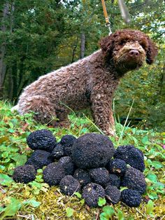 How to Grow Truffles in 7 Easy Steps and Make a Big Profit #mushroombusiness