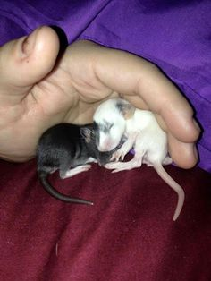 Rat Fan Club- those feet ♡